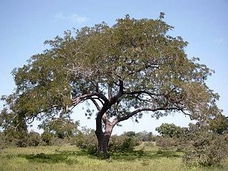 Parkia biglobosa - Image: Parkia biglobosa Burkina