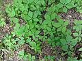 Parthenocissus quinquefolia 02201.jpg