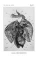 Passenger Pigeon Anatomy 2.png