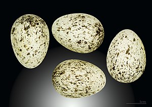 Italian sparrow - Eggs from the collection of the Muséum de Toulouse