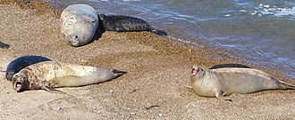 Southern elephant seal - Females and pups