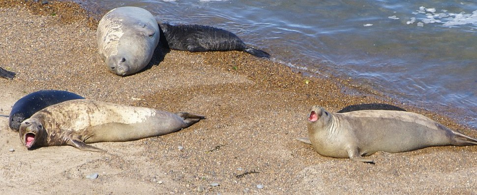 Patagonya%27da deniz filleri - panoramio
