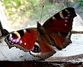 Peacock. Inachis io - Flickr - gailhampshire (3).jpg