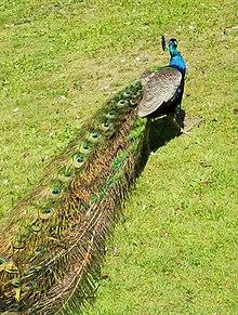 Peacock at Beacon Hill Park, Victoria BC.jpg