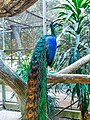 Peacocks at Ragunan Zoo.jpg