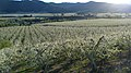 Pear orchards near Dryden Washington.jpg