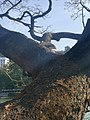 Pelican perched on a tree.jpg