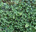 Pellia epiphylla4 ies.jpg