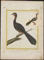Penelope marail - 1700-1880 - Print - Iconographia Zoologica - Special Collections University of Amsterdam - UBA01 IZ16900113.tif