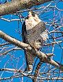 Peregrine falcon in CP (40945).jpg