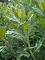 Perovskia atriplicifolia 2017-05-23 1123.jpg