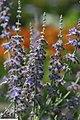 Perovskia atriplicifolia 9zz.jpg