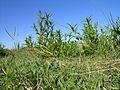 Persicaria hydropiper plant4 NC (17007237079).jpg