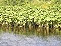 Petasites hybridus Ukhta River.jpg