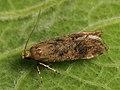 Pexicopia malvella - Hollyhock seed moth (40865266082).jpg