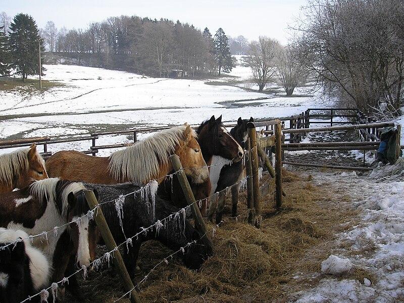Pferdeweide im Tal der Warchenne bei Waimes, Ostbelgien