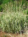 Phalaris arundinacea picta 02.jpg