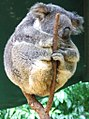 Phascolarctos cinereus (Koala resting in tree fork).jpg