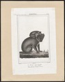 Phascolarctos cinereus - 1838 - Print - Iconographia Zoologica - Special Collections University of Amsterdam - UBA01 IZ20300210.tif