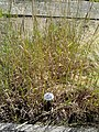 Phleum pratense - Botanical Garden, University of Frankfurt - DSC02731.JPG