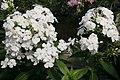 Phlox paniculata David 6zz.jpg