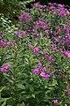 Phlox paniculata Robert Poore 2zz.jpg