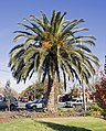 Phoenix canariensis located at the Victory Memorial Gardens.jpg