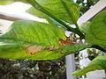 Phyllocnistis citrella.JPG