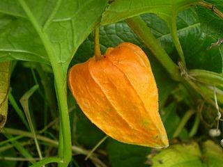 Physaleae tribe of plants