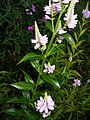 Physostegia virginiana, Hamburg, Germany.jpg