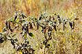 Phytolacca americana Sand Dunes Park 1.jpg