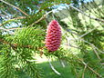 Picea Abies female cone.JPG