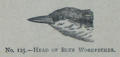 Picture Natural History - No 125 - Head of Blue Woodpecker.png