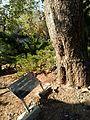Pierre-Marie Théas tree.jpg
