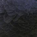 Pigeon Feather Colour Black.jpg