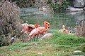 PikiWiki Israel American Flamingoes Biblical Zoo in Jerusalem.jpg