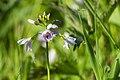 Pinksterbloem met dauw - Cardamine pratensis with dew (and tiny bug) (26856938875).jpg