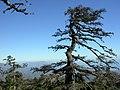 Pinsapos en Los Reales, Estepona - panoramio.jpg
