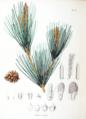Pinus densiflora SZ112.png