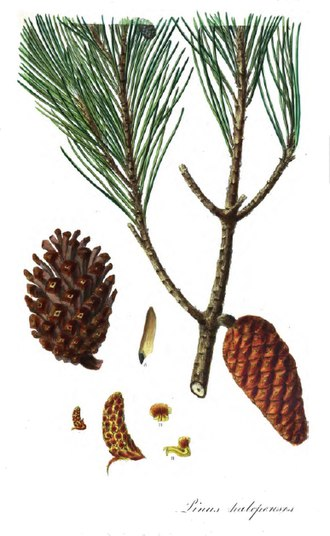 Aylmer Bourke Lambert - Pinus halepensis  from  'Description of the Genus Pinus'
