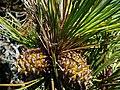 Pinus muricata cones Mendocino.jpg