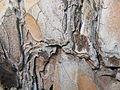 Pinus nigra (1111) 16.JPG