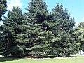 Pinus nigra - Kew 1.jpg