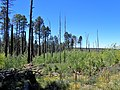 Pinus ponderosa subsp. brachyptera kz08.jpg
