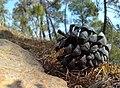 Pinus roxburghii cone, Banlekh, Uttarakhand, India.jpg