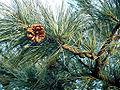 Pinus tabuliformis Shang Ning.jpg