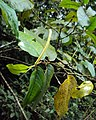 Piper colubrinum 04.JPG