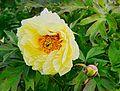 Pivoine jaune fleur&bouton FR 2014.jpg