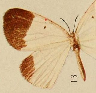 <i>Melinoessa</i> genus of insects