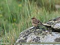Plain Mountain Finch (Leucosticte nemoricola) (27465006914).jpg